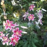 Star Gazer Lillies image