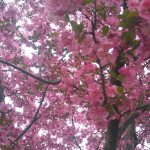 Cardinal Crabapple tree blooming image